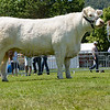The reserve interbreed beef champion, British Charolais cow Balbithan Iona from Mr. and Mrs. White.