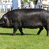The interbreed pig champion, A large Black sow from Allison Smith.