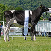 The interbreed dairy champion, Holstein calf Panda Blackstar Fools Gold from Panda Holsteins.