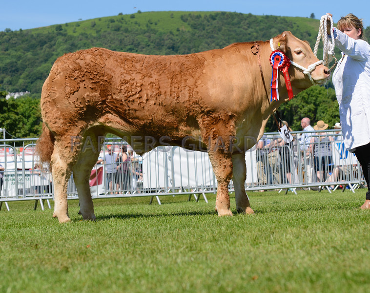 The Commercial beef champion from Miss S. A. Williams