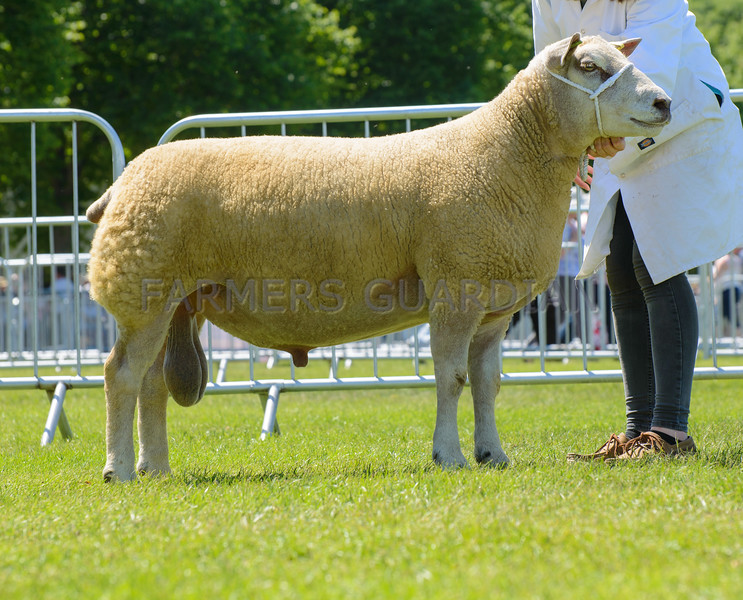 The reserve interbreed sheep champion, Charollais ram