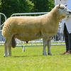 The reserve interbreed sheep champion, Charollais ram