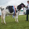 The dairy champion, Holstein heifer Blackamoor Kong Myrtle from T. Fielding of Guide, Blackburn, Lancashire.