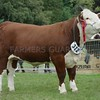 Any Other Breed of Cattle Champion at Turriff Show 16.<br /> Hereford Heifer from Ian Skea,Coreen, Dalrich, Kemnay.