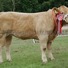 Commercial Cattle Champion at Turriff Show 16. Charolais cross Heifer from Gordon Hendry, Heds of Auchinderran, Keith.