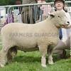 Ryeland Champion at Turriff Show 16.  A Tup Lamb from Raymond Aitken, Newton of Fetternear, Inverurie.