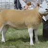 Interbreed Sheep Champion at Turriff Show Texel