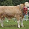 Simmental Champion at Turriff Show 16 Bull from WJ& J Green, Corskie Farm, Garmouth, Fochabers