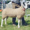 Bluefaced Leicester Champion at Turriff Show 16 Ewe Lamb from Marianne Sheed, Rhynie, Huntly.