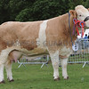 "Simmental Champion at Turriff Show ""Corskie Disco"" from W J &J Green,Corskie, Garmouth, Fochabers."