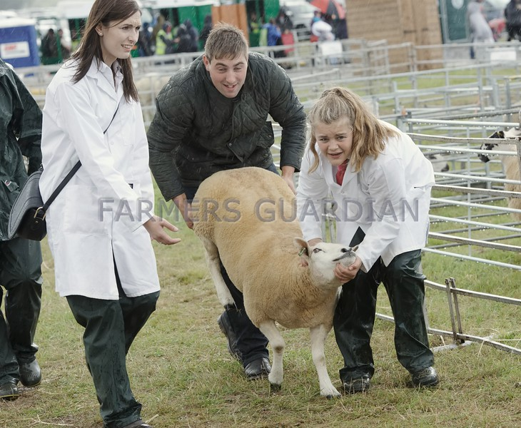 The Commercial Sheep Champion making for the Interbreed Championship
