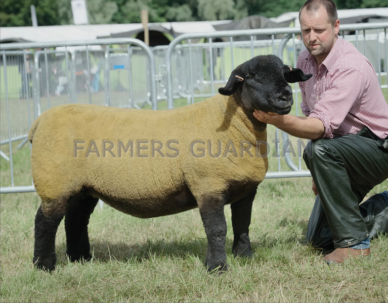 Suffolk Champion at Turriff Show from J C Innes & Sons, Dunscroft, Huntly.