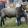 Any Other Breed of Sheep champion a Blue Texel  Tup from Stasa Moyse, Wollhillick, Skene.