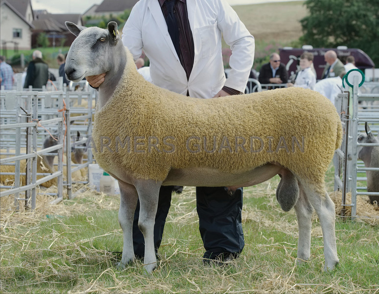 Bluefaced Leicester Male Champion and  Breed Champion a Shearling Ram from M&C Drummond, Cassington Farm, Maybole.