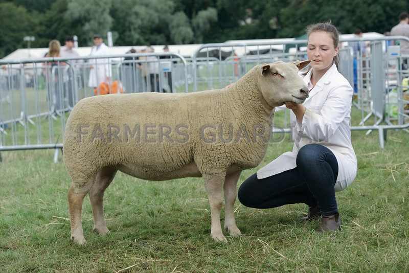 Charollais Sheep Champion at Turriff Show from W&C Ingrm, Logie Durno Farm, Pitcaple, Inverurie.