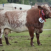 "Shorthorn Champion and Reserve Interbreed  at Turriff Show ""Lowther Sally"" from Smallburn Farms, Plewlands, Duffus,"