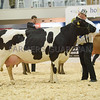 The British Friesian champion in the supreme championship class, Oakalby Hilton S Ruth from E. S. Burroughs and Son.
