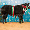 The reserve cattle champion, a British Blue cross heifer, French Connection from P. and S. Sellers of Thorpe Tilney Drove, Lincoln, Lincolnshire