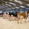 Holstein Show018