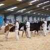 Holstein Show001