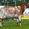 WESTMORLAND Dairy Shorthorn-3310
