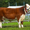 WESTMORLAND Hereford-3213