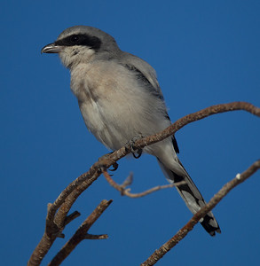 Loggerhead Shrike Krammer Junction 201709 16-2.CR2