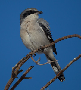 Loggerhead Shrike Krammer Junction 201709 16-3.CR2