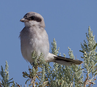 Loggerhead Shrike Crowley Lake 2013 07 20 (2 of 3).CR2