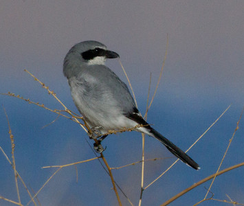 Loggerhead shrike  Owens Lake 2011 10 15 (6 of 6).CR2