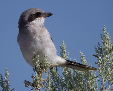 Loggerhead Shrike Crowley Lake 2013 07 20 (1 of 3).CR2