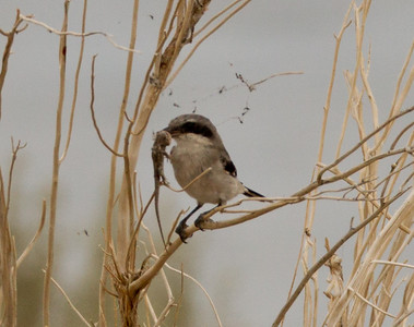Loggerhead Shrike  Crowley Lake 2011 07 31-3.CR2
