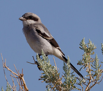 Loggerhead Shrike Crowley Lake 2013 07 20 (3 of 3).CR2