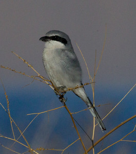 Loggerhead shrike  Owens Lake 2011 10 15 (4 of 6).CR2