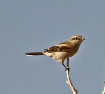 Northern Shrike  Bishop  2009 03 20-2.jpg
