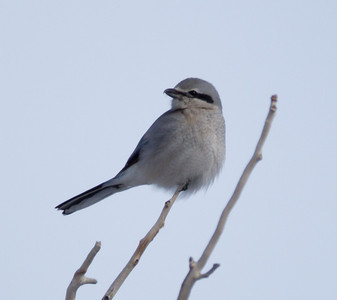 Northern Shrike  Mammoth area 2013 01 23 (3 of 3).CR2