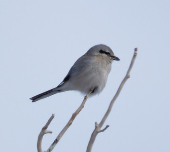 Northern Shrike  Mammoth area 2013 01 23 (2 of 3).CR2