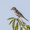 Woodchat Shrike - Rødhovedet Tornskade