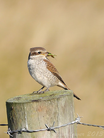 Red-backed Shrike (Lanius collurio) [juvenile], RSPB Canvey West Marsh, Essex, 15/09/2013