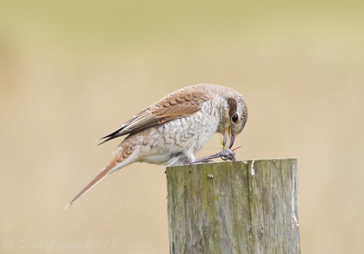 Red-backed Shrike (Lanius collurio) [juvenile], RSPB Canvey West Marsh, Essex, 14/09/2013. Tucking into another grasshopper.
