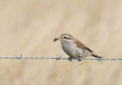 Red-backed Shrike (Lanius collurio) [juvenile], RSPB Canvey West Marsh, Essex, 15/09/2013. With a bee.