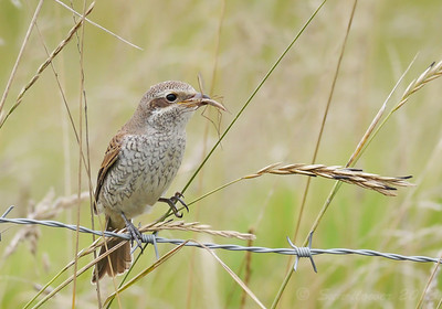 Red-backed Shrike (Lanius collurio) [juvenile], RSPB Canvey West Marsh, Essex, 14/09/2013. With Crane fly.