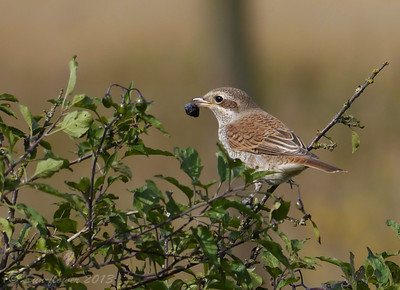 """Red-backed Shrike (Lanius collurio) [juvenile], RSPB Canvey West Marsh, Essex, 15/09/2013. Some fruit for dessert after all those Crane flies! In fact, I saw this """"butcher bird"""" eat at least 2 berries - picking them off their stalks and then eating them a little bit at a time, holding the berry in its foot."""