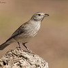 Grey Shrike - Thrush , Colluricincla harmonica