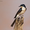 Restless Flycatcher, Myiagra inquieta