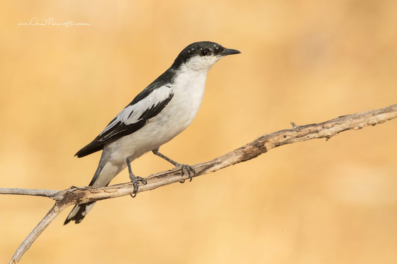 White-winged Triller, Lalage tricolor, male