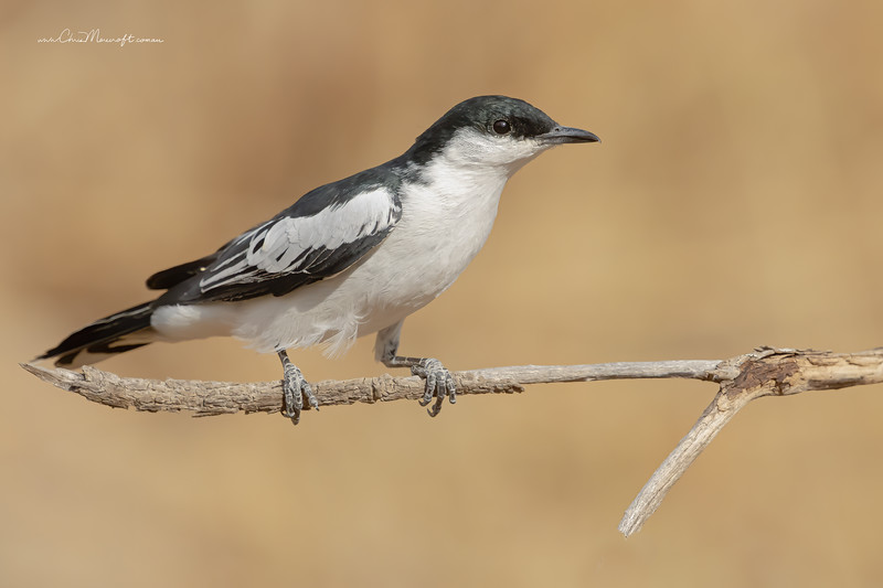 White -Winged Triller, Lalage tricolor