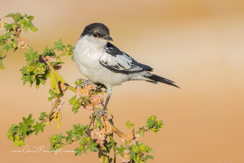 White-Winged Triller, Lalage tricolor