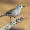 Grey Shrike-Thrush, Colluricincla harmonica