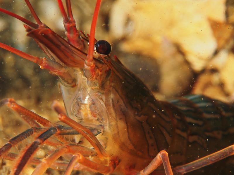 Lysmata californica (red rock shrimp)